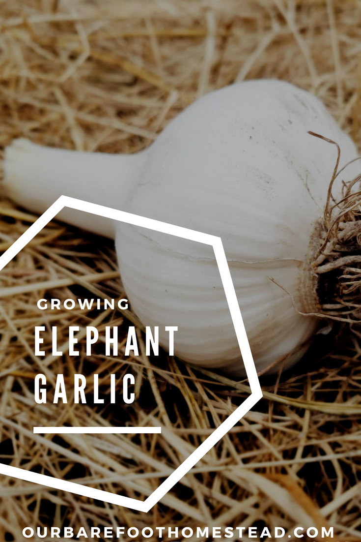 Growing Elephant Garlic at the Barefoot Homestead