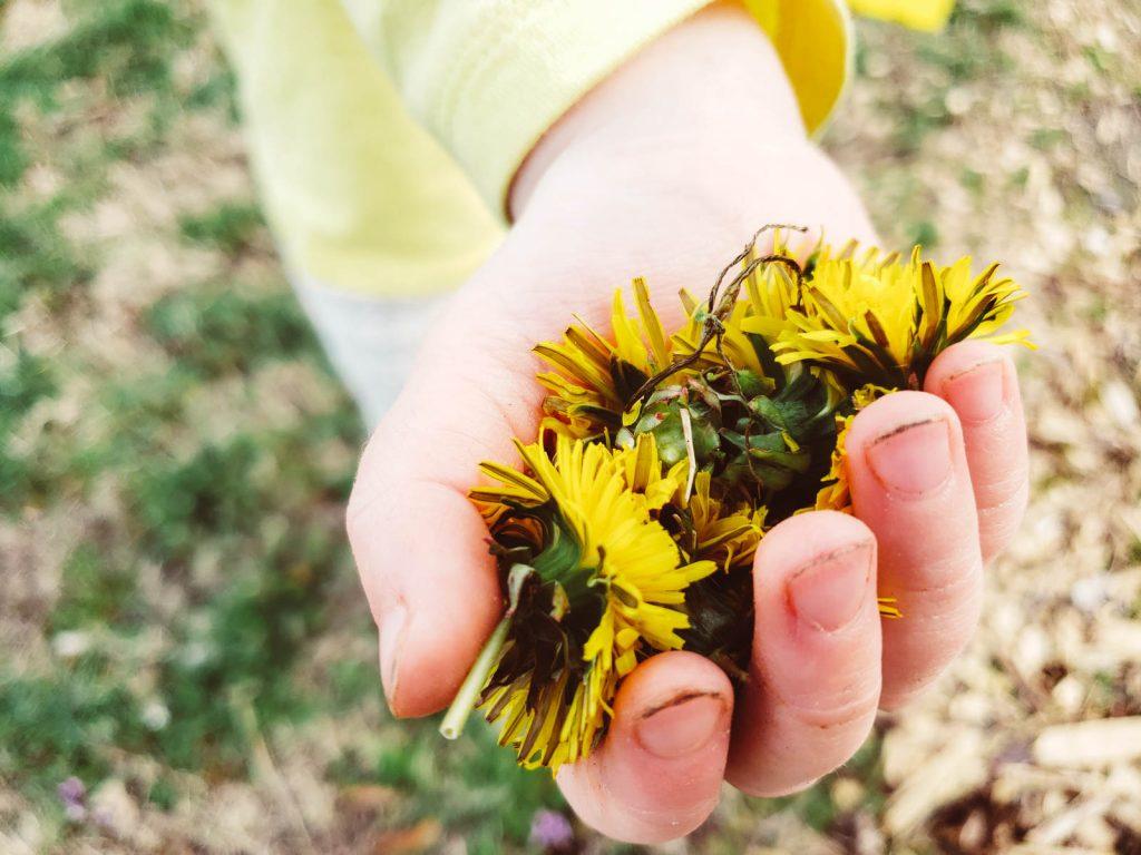 Toddler hand holding dandelion heads.